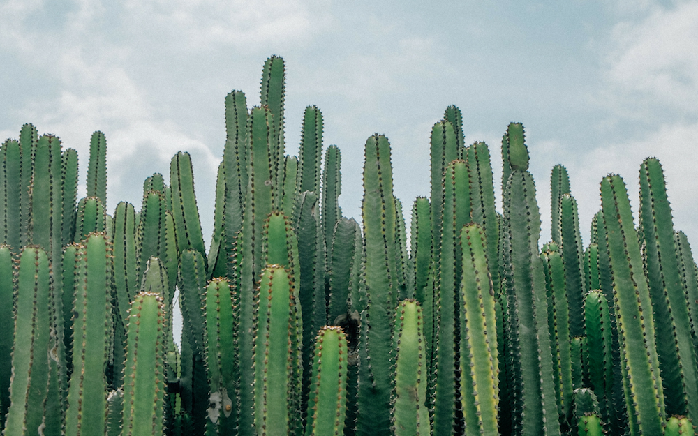 Cacti lined up against a blue sky